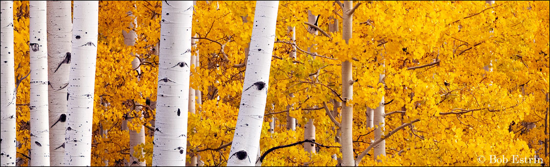 Aspens panoramic